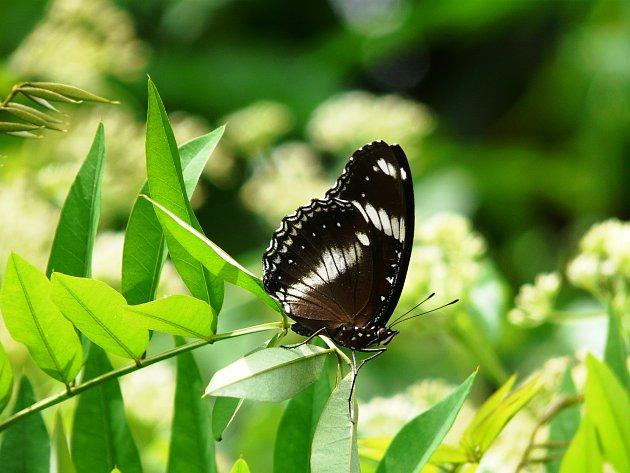 Motýli ostrova Borneo.