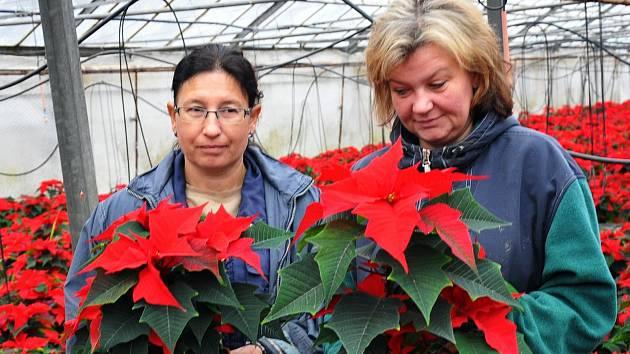 Vánoční hvězdy ze zahradnictví Unient v Duchcově.