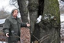 Jírovcová alej na levé straně silnice z Duchcova do Teplic je stará přes sto let, říká  Marek Hanuš, soudní znalec pro obory lesní hospodářství a ochrana přírody.