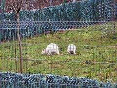 Chov klokanů Vladimíra Cholenského. Snímky jsou z března 2016.