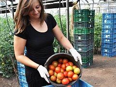 Sklizeň speciální holandské odrůdy probíhá postupně od května do konce listopadu.