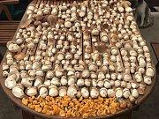 Přes 600 kusů hub nedávno našel Bořek Chládek z teplické restaurace Aladdin s kamarádem Zdeňkem Březinou v lesích v Krušných horách.