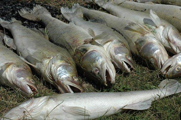 Katastrofa pro rybáře – ve znečištěném Modlanském rybníku uhynuli velcí candáti za stovky tisíc korun