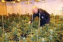 Policie odhalila pěstírnu marihuany v centru Duchova