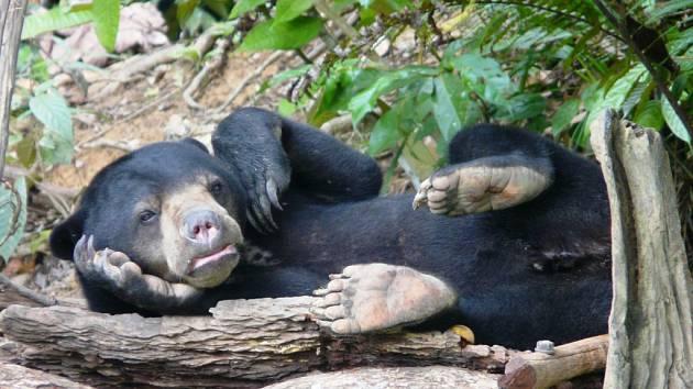 Medvěd malajský v záchranné stanici KWPLH Balikpapan.