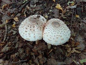 I přes velké sucho rostou v Panském lese v Proboštově i v těchto dnech bedly jedlé.