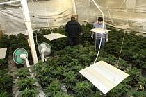 Jedna z největších pěstíren marihuany byla v pátek odhalena v Duchcově na Teplicku. Netradiční podnikání měli na svědomí Vietnamci.