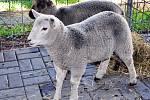 Strážníci odchytili dvě ovečky.