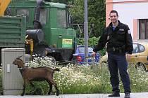 Karel Simkovič, domažlický městský strážník, na snímku se svým jmenovcem, uprchlíkem kozlem Karlem.