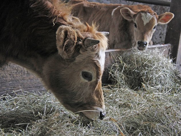 Týrané krávy se zotavují v Chodské Lhotě.