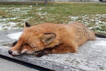 Mrtvá liška v Horšovském Týně.