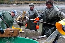 Z VÝLOVU ČERNÉHO RYBNÍKA U BABYLONU. Zaměstnancům Domažlických městských lesů s ním pravidelně pomáhají kolegové z chocomyšlského střediska  Klatovského rybářství.