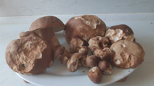 První letošní houbový úlovek na jihozápadě Čech.