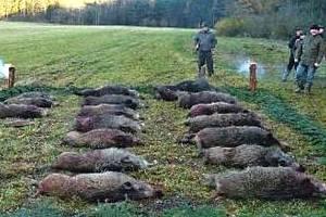 Pucličtí myslivci ulovili na honu 18 divokých prasat.