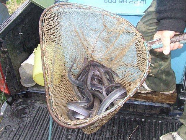 MALÉ ÚHOŘE mohli po dlouhých šesti letech kdyňští rybáři opět vysadit do Bílky.