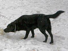 Volně pobíhající psi, po kterých jejich páníčci navíc neuklízejí, jsou velký problém. Ilustrační foto.