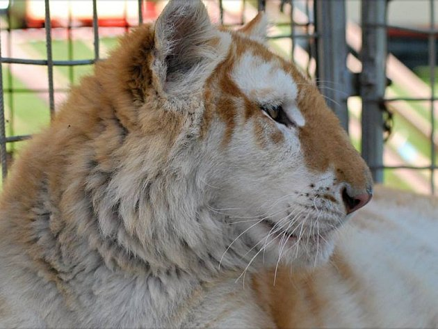 Zlatý tygr je chloubou cirkusu Arlet.