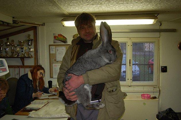 Činčily, Meklenburský strakáč, Belgičtí obři a mnoho dalších králíků se posuzovalo vHoršovském Týně.