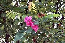 Rozkvetl školákům pro radost? V neobvyklé době se objevil  na jednom z okrasných stromů u Základní školy Msgre B. Staška v Domažlicích fialový květ zahradnického kultivaru akátu.