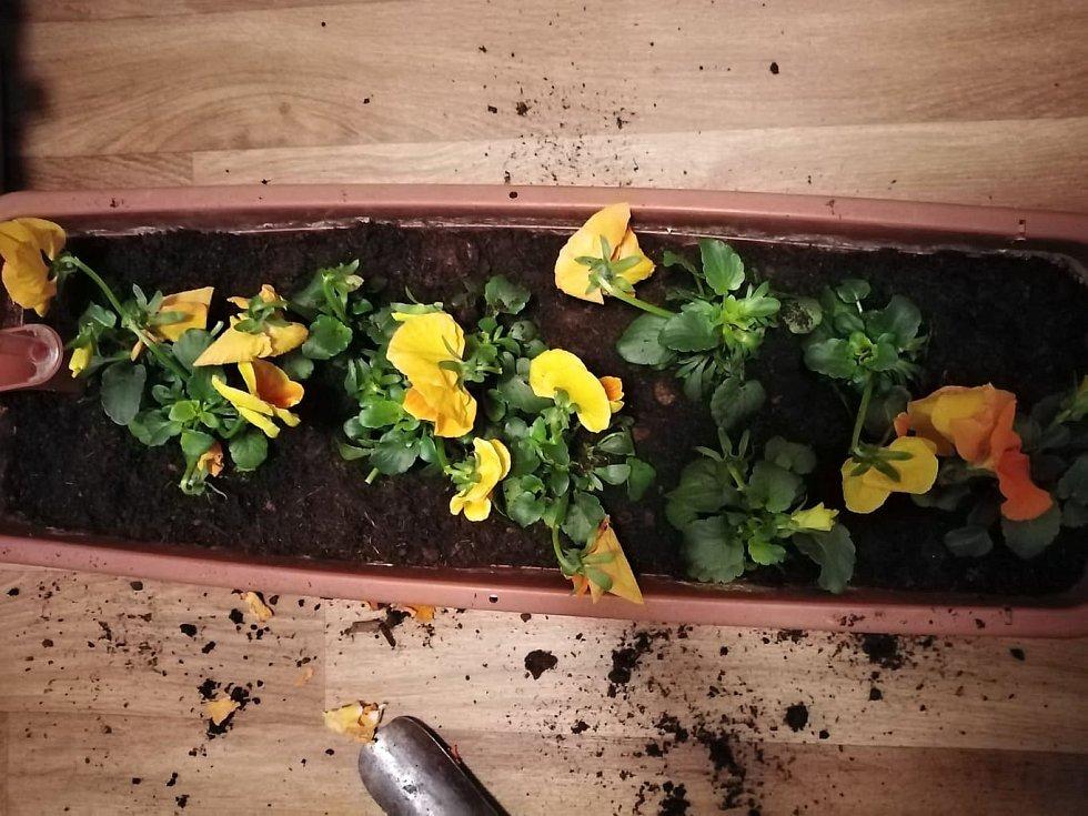 Místo mezi kytičkami zasypejte zeminou.