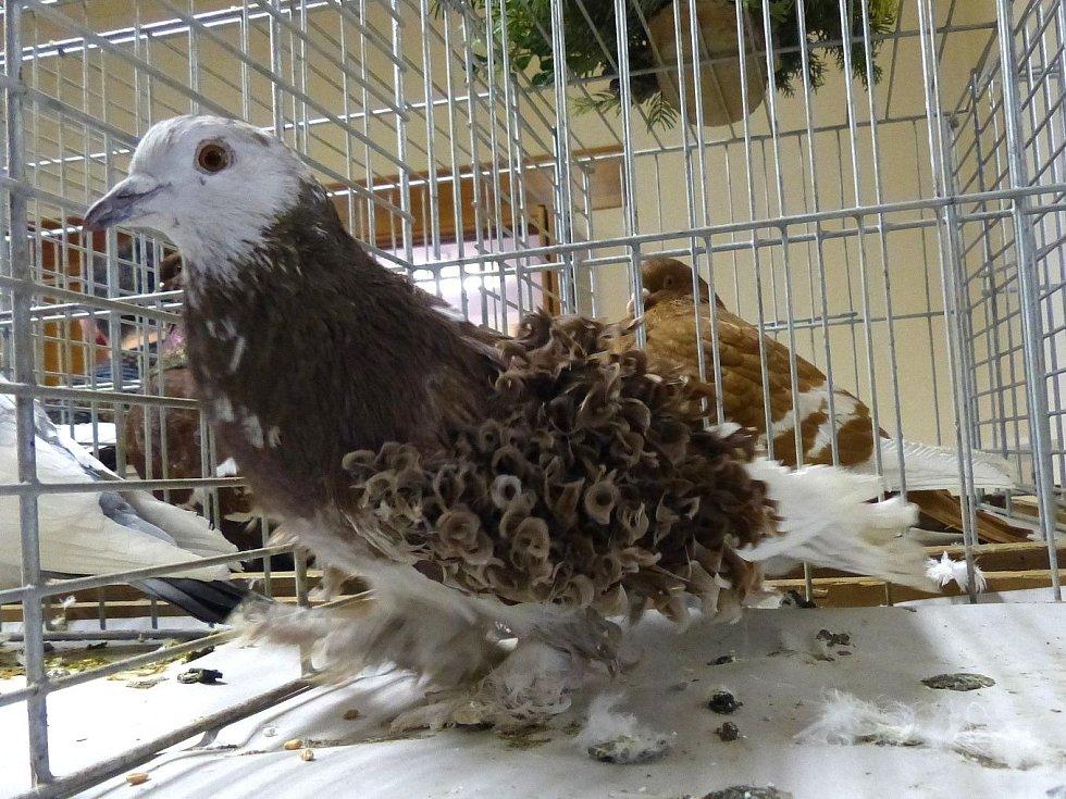 Z výstavy holubů pořádané ZO ČSCH Únějovice.