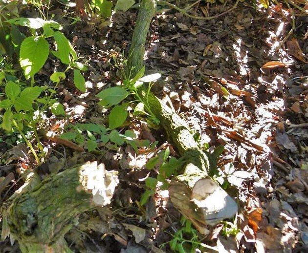V zámeckém parku někdo zničil výsadbu rododendronů