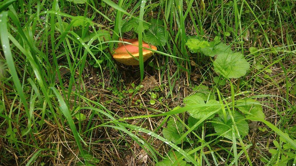 Nalezené houby zaslali: Lucie Kazdová