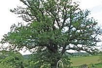 Památný strom:Na snímku jsme vyznačili sloupek s tabulkou a bílým lvem v červeném poli  označující památný strom.