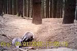 Jezevci skotačí poblíž své nory.