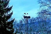 Čáp se rozhodl ve Kdyni přezimovat. Na hnízdo se pravidelně vracel na přelomu podzimu a zimy až večer, nyní je to už se soumrakem. Občas se tam v těchto dnech objeví i během dne.