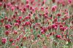 Pole s jetelem poblíž Blížejova vypadají nepoškozeně. Včelky mezi květy pilně poletují.
