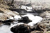 Bobři si hyršovský potok Koubu přivlastnili a staví jednu hráz za druhou.