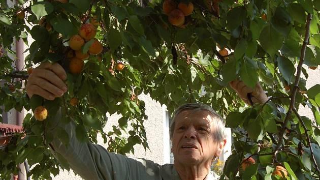 Václav Němec z Domažlic  si na malou úrodu stěžovat nemůže. Jeho meruňka je letos obalená plody. Podle odhadu sebere metrák meruněk.