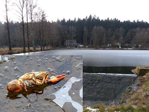 RYBNÍK V MLÝNEČKU leží v nádherné přírodě. První dojem loni v lednu zcela pokazil pohled pod led, kde byly patrní mrtví raci ležící břichem vzhůru. Kvůli fotografování jsme jednoho z nich opatrně vytáhli na led.