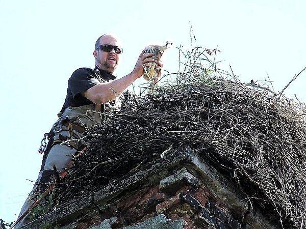 Karel Makoň smládětem čápa při kroužkování. Na komíny, kde mají čápi hnízda leze itehdy, potřebuje-li hnízdo opravit či upravit.