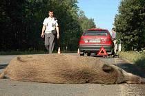 Divoká prasata často končí pod koly automobilů.