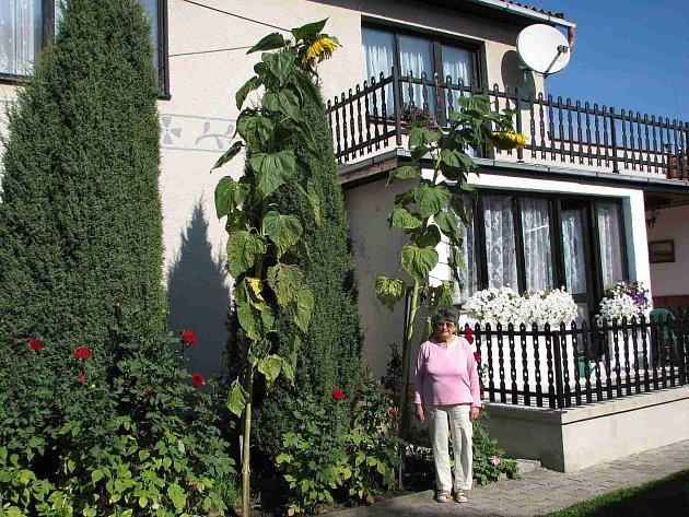 Mrákovské obří slunečnice. Svoji pěstitelku Annu Hoffmannovou opět slunečnici dokonale přerostly. Původně byly tři, ale jedna se zlomila.