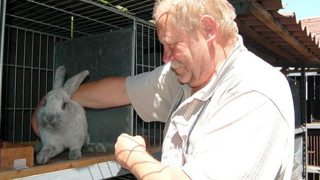 JOSEF BAXA ukazuje zajímavý exemplář – velkého světlého stříbřitého králíka od chovatele Vladimíra Klesy z Kvíčovic