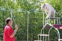 Bílý tygr ussurijský s krotitelem Karlem Berouskem.