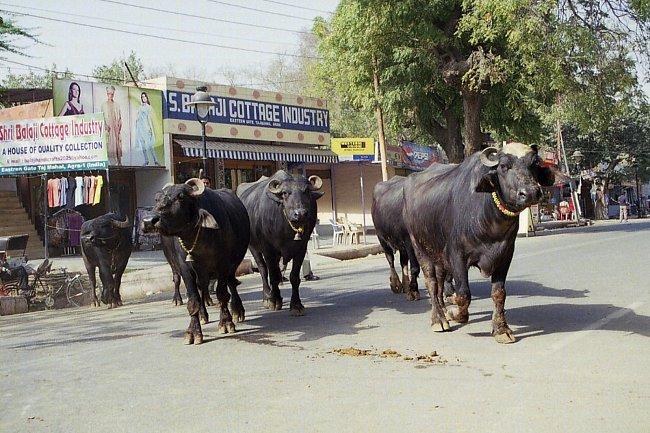 Posvátné krávy.