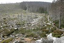NÁSLEDKY ŘÁDĚNÍ KŮROVCE. Nepřítelem šumavských lesů je lýkožrout smrkový neboli kůrovec, který se letos přemnožil.