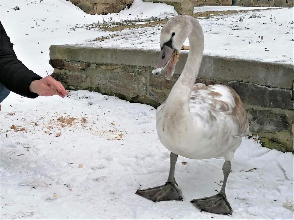 Nekrmte v zimě labutě.