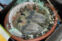 HOLOUBATA. Na balkoně manželů Zborovských už náramně vyrostla, a to i díky přikrmování. Nutno říct, že holubi nejsou tak čistotní jako kosi, kteří v podobném případě na sídlišti Palackého létali k hnízdu s potravou a při odletu odnášeli trus mláďat, takže
