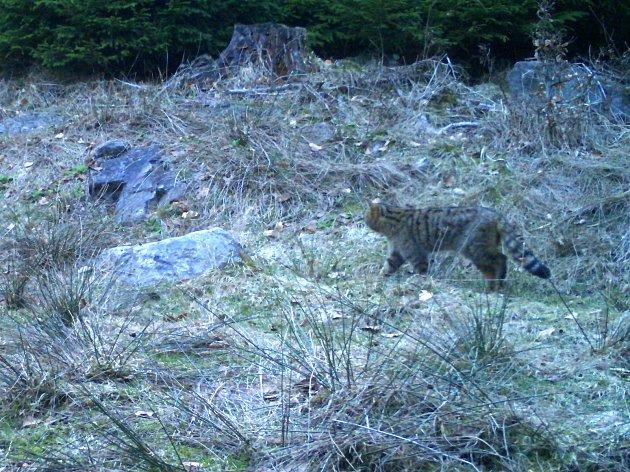 Opakovaně v Českém lese fotopastí zachycený kocour kočky divoké