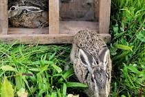 Myslivci ve Vidicích vypouštěli zajíce do volné přírody.