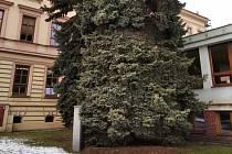 Dva smrky u domažlické školy v Komenského ulici šly k zemi. Nahradí je nová zeleň.