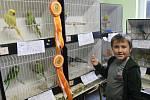 Kubík je nejmladším chovatelem a chodí do třetí třídy. Na výstavě ukázal pestrobarevné papoušky.