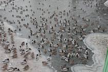 Kachny na řece v Horšovském Týně.