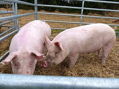 Zemědělci už vloni nedostávali za prasata tolik, aby to pokrylo náklady. Letos přibyla stejná situace u mléka.