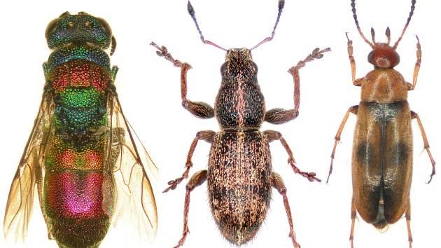 VÝZNAMNÍ HMYZÍ OBYVATELÉ ŠKARMANU (zleva): zlatěnka Chrysis illigeri, nosatec Sitona regensteinensis a bezhrotník Anaspis maculata.